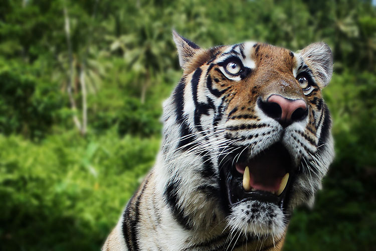 Rawr: Playing with Tigers in Thailand