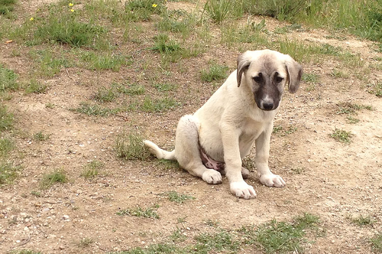 Kangal Dogs: For My Mama