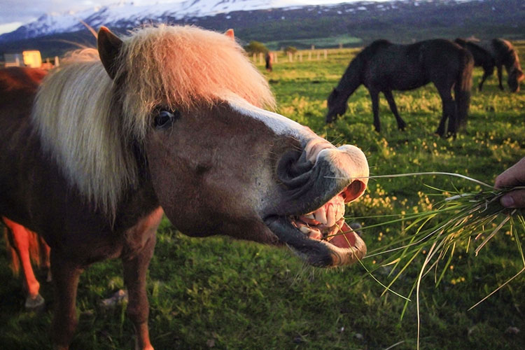 Icelandic Horses Eating - Iceland - Wanderlusters (750x500)
