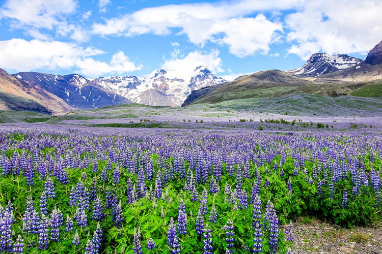 Wanderlusters - Iceland Postcards - Lupins