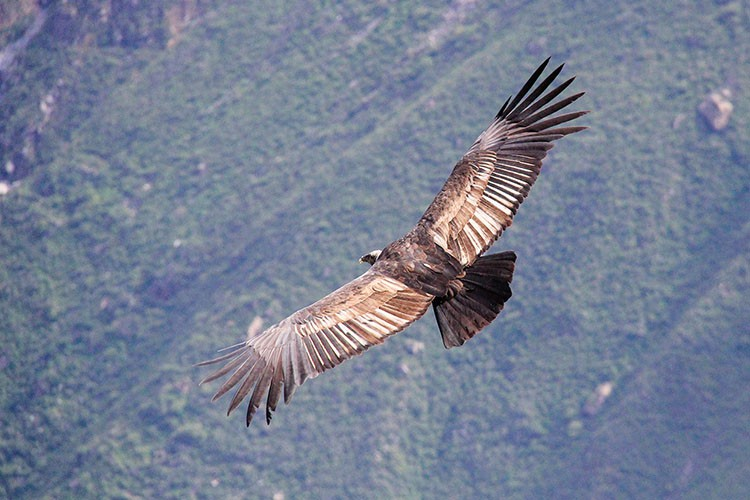 Andean Condors in Colca Canyon - Peru - Wanderlusters