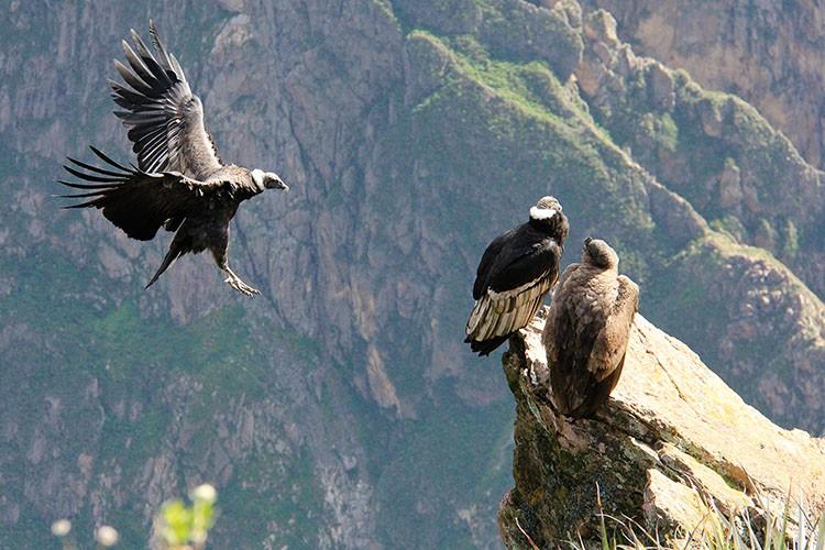 Andean Condors in Peru - Wanderlusters
