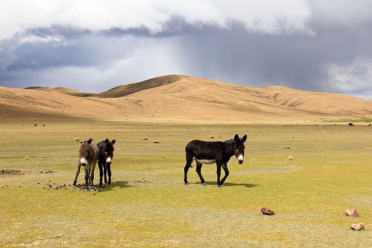 Bolivian Donkey - Bolivia Salt Flats Tour - Wanderlusters
