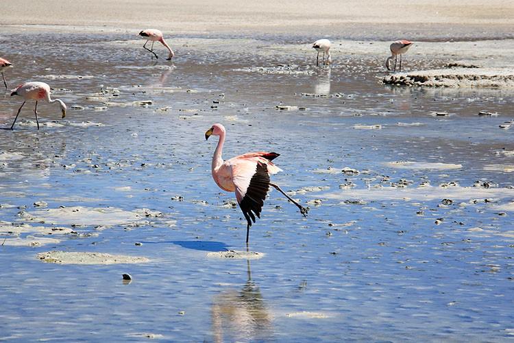 Flamingo in Laguna Cañapa - Bolivia Salt Flats Tour - Wanderlusters
