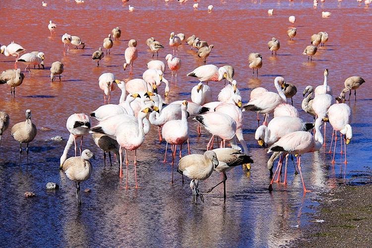 Flamingoes in Bolivia - Bolivia Salt Flats Tour - Wanderlusters