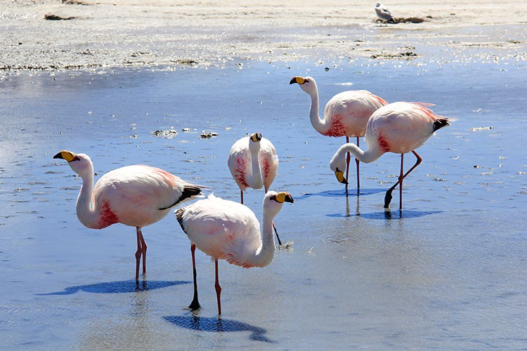 Flamingoes in Laguna Cañapa - Bolivia Salt Flats Tour - Wanderlusters