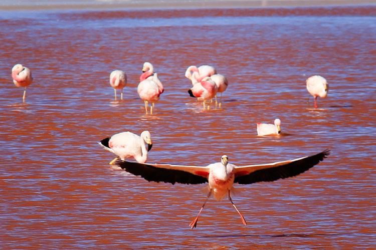 Flying Flamingo - Red Lagoon - Bolivia Salt Flat Tours - Wanderlusters