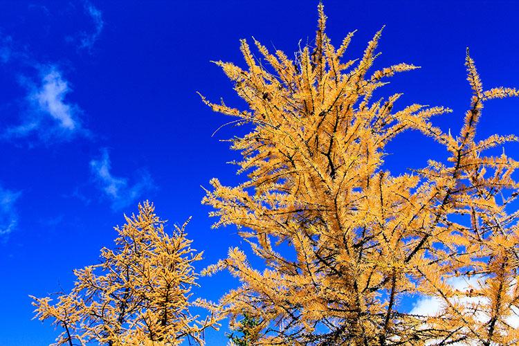 Yellow Larches - Lake OHara - BC Canada - Wanderlusters