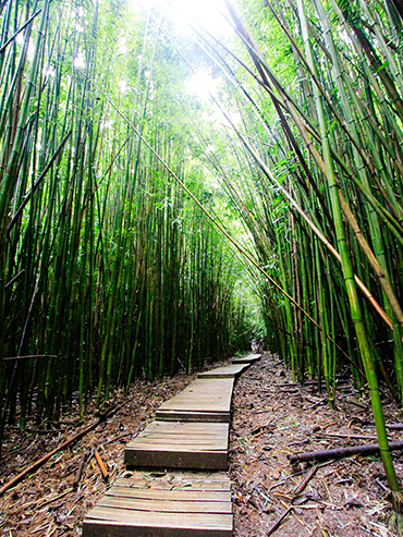 Bamboo Forest Path - Road to Hana - Maui Hawaii - Wanderlusters (3x4)