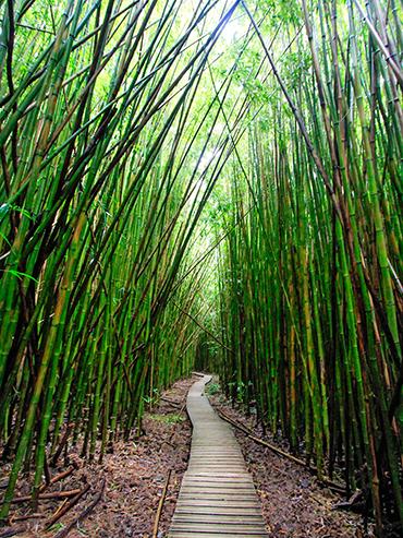 Bamboo Forest - Road to Hana - Maui Hawaii - Wanderlusters (3x4)