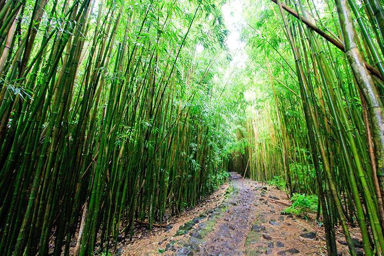 Bamboo Forest Trail - Pipiwai Trail - Road to Hana - Maui Hawaii - Wanderlusters (750x500)