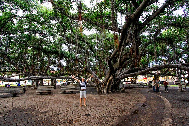 Banyan Tree - Lahaina Front Street - Maui Hawaii - Wanderlusters