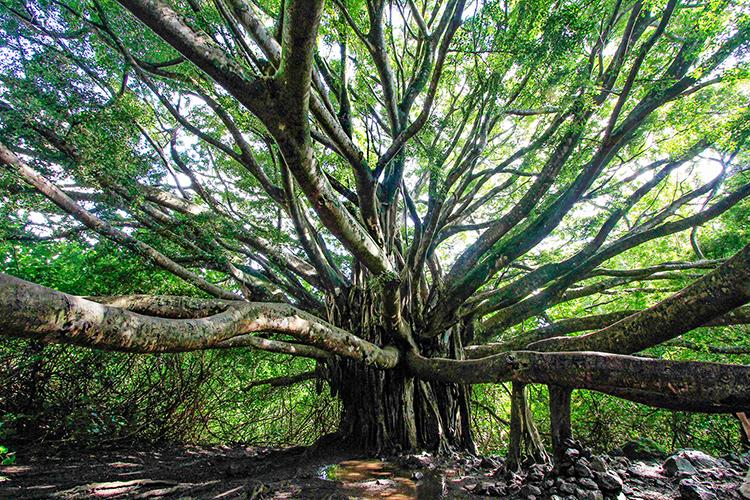 Banyan Tree - Pipiwai Trail Maui Hawaii - Wanderlusters (750x500)