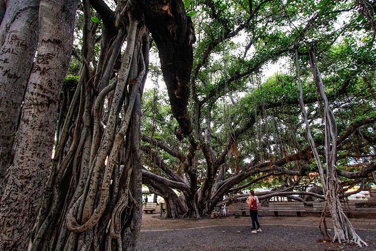 Lahaina Banyan Tree - Maui Hawaii - Wanderlusters (750x500)