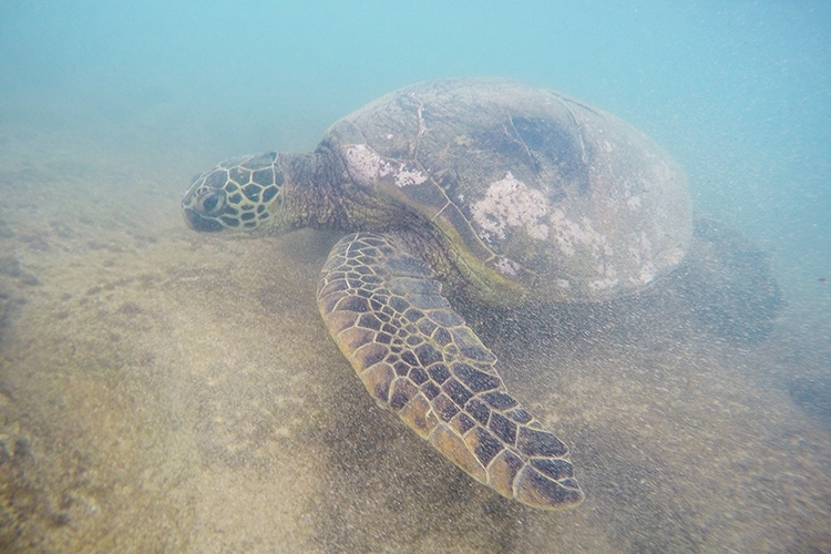Sea-Turtles-Maui-Snorkeling-Hawaii