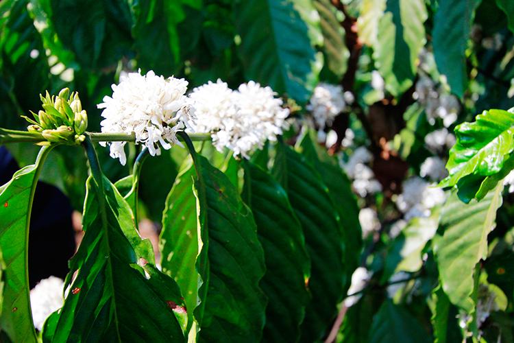 Coffee Plant - Dalat Easy Riders Tour - Vietnam - Wanderlusters
