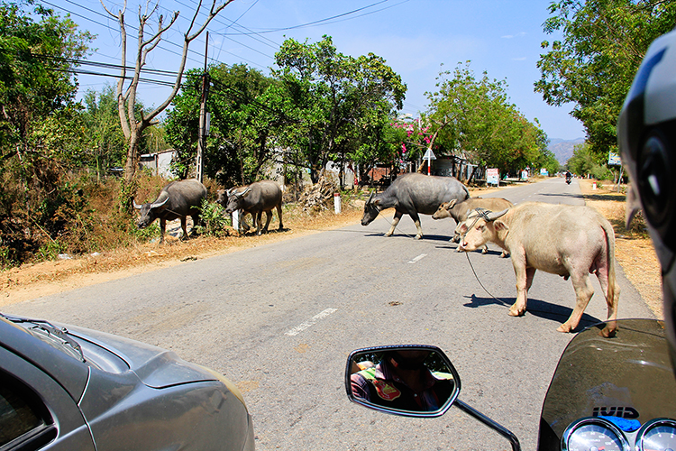 Easy Rider Tour - Cows on Road - Wanderlusters (750)