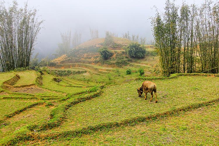 Sapa Water Buffalo - Vietnam - Wanderlusters