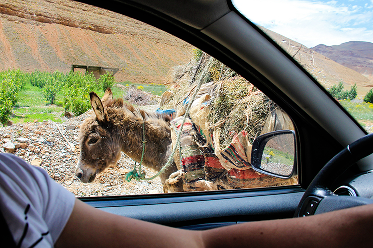 Driving in Morocco - Donkeys on Road - Wanderlusters