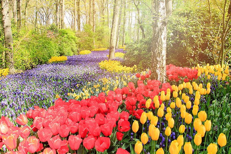 Keukenhof Gardens: Tulips for Days