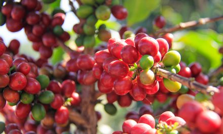 How Guatemalan Coffee is Made & Other Foods