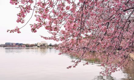 Cherry Blossoms in Washington